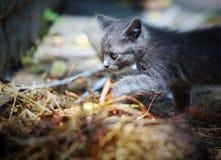 Γκρίζοι περίπατοι γατακιών Στοκ Φωτογραφία