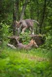 Γκρίζοι περίπατοι κουταβιών Λύκου Canis λύκων πέρα από το βράχο Στοκ εικόνες με δικαίωμα ελεύθερης χρήσης