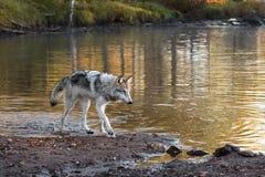 Γκρίζοι περίπατοι λύκων (Λύκος Canis) κατά μήκος Riverbank Στοκ Εικόνα