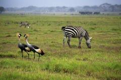 Γκρίζοι στεμμένοι γερανός δύο και zebras Στοκ φωτογραφίες με δικαίωμα ελεύθερης χρήσης