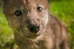 Γκρίζοι λύκος & x28 Canis lupus& x29  Ακραίος στενός επάνω κουταβιών Στοκ εικόνα με δικαίωμα ελεύθερης χρήσης