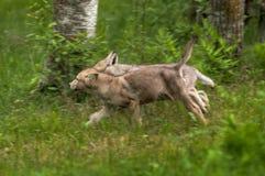 Γκρίζοι λύκος & x28 Canis lupus& x29  Τρεξίματα κουταβιών που αφήνονται Στοκ Εικόνες