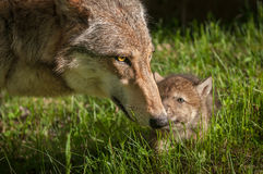 Γκρίζοι λύκος & x28 Canis lupus& x29  Αφή μητέρων και κουταβιών Στοκ Φωτογραφίες