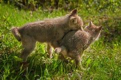 Γκρίζοι λύκος & x28 Canis lupus& x29  Πάλη κουταβιών Στοκ Εικόνες