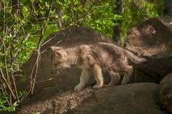 Γκρίζοι λύκος & x28 Canis lupus& x29  Περίπατοι κουταβιών από τους βράχους Στοκ Εικόνες