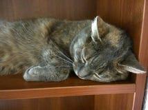 Γκρίζοι ύπνοι γατών Στοκ Εικόνες