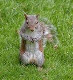 Γκρίζος ή γκρίζος σκίουρος Στοκ φωτογραφία με δικαίωμα ελεύθερης χρήσης