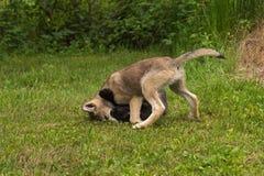 Γκρίζος αμφιθαλής καρφιτσών κουταβιών λύκων (Λύκος Canis) Στοκ Εικόνες