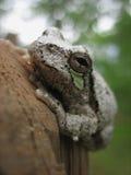 Γκρίζος βάτραχος δέντρων Στοκ εικόνες με δικαίωμα ελεύθερης χρήσης