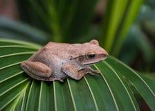 Γκρίζος βάτραχος, αμφίβιος στοκ φωτογραφίες