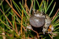 Γκρίζος βάτραχος δέντρων που καλεί μέσα ένα δέντρο πεύκων Στοκ Εικόνες