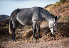 Γκρίζος γάιδαρος Στοκ Φωτογραφίες