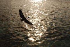 Γκρίζος ερωδιός Ardea φαιάς ουσίας Στοκ φωτογραφίες με δικαίωμα ελεύθερης χρήσης