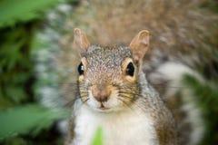 Γκρίζος/γκρίζος σκίουρος Στοκ φωτογραφία με δικαίωμα ελεύθερης χρήσης