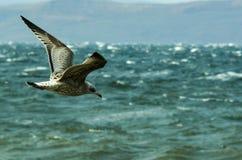 Γκρίζος γλάρος που πετά πέρα από τη θυελλώδη θάλασσα στοκ εικόνες