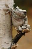 Γκρίζος δέντρο-βάτραχος (Hyla versicolor) Στοκ Φωτογραφία