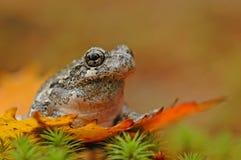 Γκρίζος δέντρο-βάτραχος (Hyla versicolor) Στοκ φωτογραφία με δικαίωμα ελεύθερης χρήσης