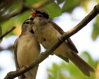 Γκρίζος-διευθυνμένη ζωή αγάπης Parrotbill στοκ φωτογραφία με δικαίωμα ελεύθερης χρήσης