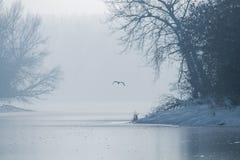 Γκρίζος ερωδιός που πετά πέρα από μια παγωμένη λίμνη, παγωμένη χειμώνας λίμνη στοκ φωτογραφίες