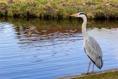 γκρίζος ερωδιός ψηλός Στοκ εικόνες με δικαίωμα ελεύθερης χρήσης
