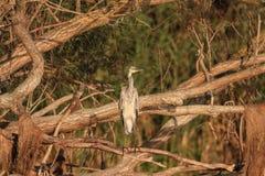 Γκρίζος ερωδιός Ardea φαιάς ουσίας στο δέντρο κλάδων Στοκ εικόνες με δικαίωμα ελεύθερης χρήσης