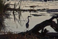 Γκρίζος ερωδιός, Ardea φαιάς ουσίας, στο waterhole, εθνικό πάρκο Etosha, Ναμίμπια Στοκ Εικόνες