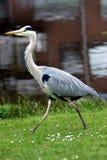 γκρίζος ερωδιός πουλιών Στοκ Εικόνα