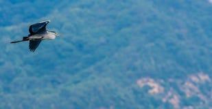 Γκρίζος ερωδιός που πετά στον ουρανό Στοκ φωτογραφία με δικαίωμα ελεύθερης χρήσης
