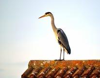 Γκρίζος ερωδιός στη στέγη Στοκ Φωτογραφία
