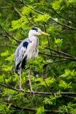 Γκρίζος ερωδιός στον κλάδο δέντρων Στοκ Εικόνες