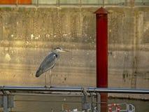 Γκρίζος ερωδιός στο αστικό περιβάλλον Ardeidae Στοκ φωτογραφία με δικαίωμα ελεύθερης χρήσης