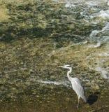 Γκρίζος ερωδιός Στοκ φωτογραφίες με δικαίωμα ελεύθερης χρήσης