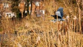 γκρίζος ερωδιός Στοκ φωτογραφία με δικαίωμα ελεύθερης χρήσης