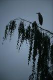 Γκρίζος ερωδιός, Ardea φαιάς ουσίας Στοκ Εικόνα