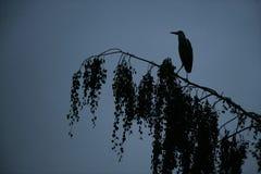Γκρίζος ερωδιός, Ardea φαιάς ουσίας Στοκ Φωτογραφίες