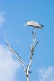 Γκρίζος ερωδιός, Ardea φαιάς ουσίας Στοκ εικόνα με δικαίωμα ελεύθερης χρήσης