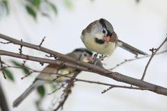 Γκρίζος-διευθυνμένος parrotbill Στοκ Φωτογραφίες