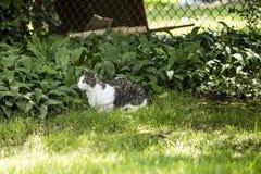 Γκρίζος και ποια γάτα που βάζει στην πράσινη χλόη που εξετάζει το θήραμα στοκ εικόνα