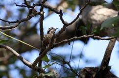 Γκρίζος καλυμμένος pygmy δρυοκολάπτης στοκ εικόνες