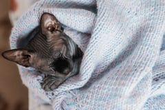 Γκρίζος καναδικός ύπνος γατακιών sphynx στον πλεκτό άλτη στοκ φωτογραφίες με δικαίωμα ελεύθερης χρήσης