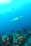 Γκρίζος καρχαρίας σκοπέλων Στοκ εικόνες με δικαίωμα ελεύθερης χρήσης