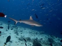 Γκρίζος καρχαρίας σκοπέλων Στοκ φωτογραφία με δικαίωμα ελεύθερης χρήσης