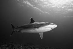Γκρίζος καρχαρίας σκοπέλων Στοκ φωτογραφίες με δικαίωμα ελεύθερης χρήσης