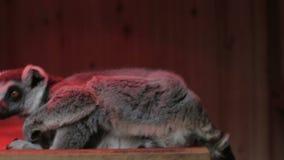 Γκρίζος κερκοπίθηκος που κάθεται κοντά επάνω απόθεμα βίντεο