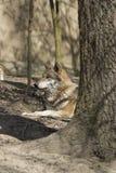 γκρίζος λύκος Λύκου canis Στοκ Εικόνες