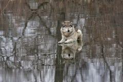 Γκρίζος λύκος που βρίσκεται στην παγωμένη λίμνη Στοκ Φωτογραφίες