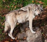 Γκρίζος λύκος που εξετάζει τη κάμερα Στοκ Φωτογραφία