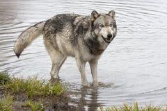 Γκρίζος λύκος που στέκεται στον ποταμό Στοκ Φωτογραφίες
