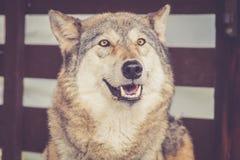 Γκρίζος λύκος στην αγροτική εκλεκτής ποιότητας σιταποθήκη Στοκ φωτογραφία με δικαίωμα ελεύθερης χρήσης