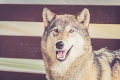 Γκρίζος λύκος στην αγροτική εκλεκτής ποιότητας σιταποθήκη Στοκ φωτογραφίες με δικαίωμα ελεύθερης χρήσης